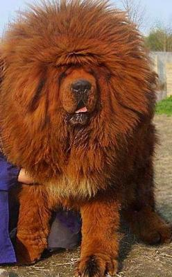 Tibetan Mastiff- Holy Cow: Puppies, Animals, Pets, Funny, Tibetan Mastiff, Tibetanmastiff, Friend, Big Dogs