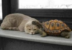 """* * TURTLE: """" Once ya get to know me, yoo willz  like me cuz me be slow.""""  CAT:""""Me will haz to thinks about wut dat means."""": Kitty Cats, Friends, Sweet, Animals Friends, Pet, Odd Animal Friendships, Odd Couple, Adorable, Turtles"""