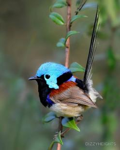 Variegated Fairy-wren. Such a sweet tiny bird.: Little Birds, Beautiful Birds, Ave, Animal, Variegated Fairywren
