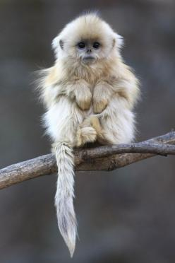 vvividcolors: Is this not the cutest thing ever like his eyes and his paws find more women fashion on misspool.com: Face, Creature, Baby Monkeys, Nosed Monkey, Baby Animals, Primate, Cute Monkey, Cutest Monkey