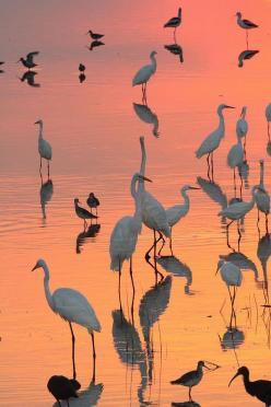 Wading Birds Forage In Colorful Sunset Photograph by George Grall - Wading Birds Forage In Colorful Sunset Fine Art Prints and Posters for Sale: Birds Forage, Sunset Photograph, Sunsets, Beautiful, Wading Birds, Animal