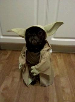 We have a few pups in the office who would look great in this! :): Yoda Pug, Animals, Dogs, Star Wars, Funny Stuff, Pugs, Funnie