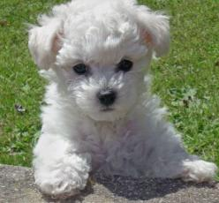 What's All The Buzz About Bichon Frises?: Animals, Dogs, Bichon Frise, Pets, Puppys, Puppy, Adorable