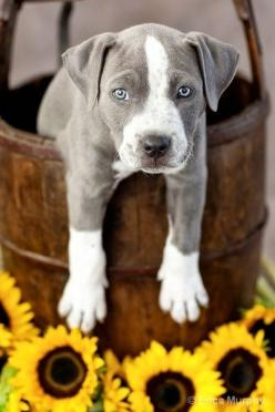 what a cutie: Cute Puppies, Dogs, Puppys, Pit Bull, Blue Eye, Pitbull Puppy, Blue Pit, Animal