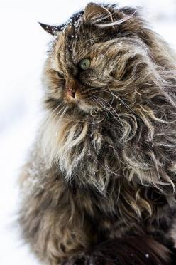 What a magnificent cat!  Reminds me of my beloved Dashiell, a Norwegian Forest Cat, who was 36 inches long from nose to the base of his tail.  He was the boss at our house.: Cats, Beautiful Cat, Kitten, Animals, Kitty Cat, Norwegian Forest Cat, Kitty Kitt