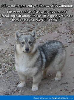 Wolf + Corgi = This awesome dog ADORABLE!!!!: Animals, Wolf Corgis, Dogs, Wolfcorgi, Awesome Dog, Pet, Wolves, English Sheepdog
