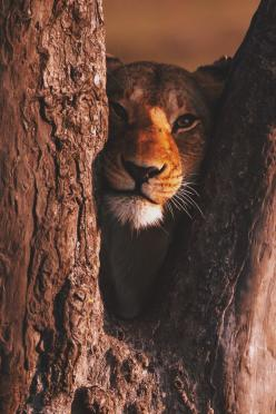 Wolverxne.tumblr.com: Lion in a tree by (Exodus Travels): Wildcats, Exodus Travels, Big Cats, Animals, Nature, Tree, Wildlife, Wild Cats