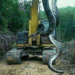 Worlds Largest Snake - 780lb Giant Snake Found in Florida | News-Hound: Animals, Pound Snake, Big Snake, Lake, 700 Pound, Snakes, Photo, North Carolina