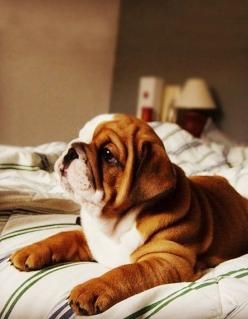 wrinkled and adorable.: Animals, Sweet, Bulldog Puppies, Pet, English Bulldogs, Puppy, Friend, Bull Dogs