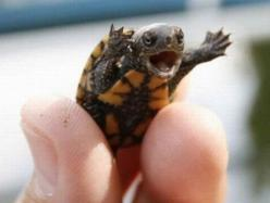 Writing prompt: This tiny little turtle is giving a speech. Who is he talking to? What is he saying?: Animals, Funny Stuff, Things, Ninja Turtles, Ninjas, Funnie