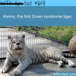WTF Facts : funny, interesting & weird facts: Kenny, White Tigers, Down Syndrome, Adorable Animals, Fun Facts, Downsyndrome, Wtf Fun, Syndrome Tiger