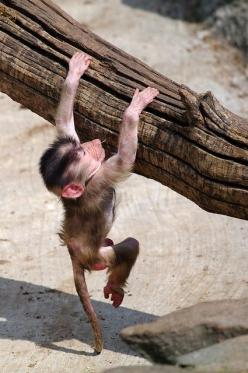 You'll all be smiling when he wins the gold medal in high bar ...: Animals Mammal Primates, Babies, Baboon Babyanimals, حيواناتAnimals Monkey, Monkey Baby Animals, Photo, Baby Baboon, Babyanimals Animals