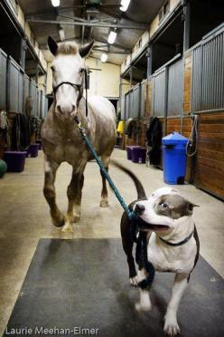 You can lead a horse to water with a pit bull.  ♥ SEE! Even a horse (a prey animal) knows that pit bulls can be trusted. This photo adequately speaks to both my loves! :): Animals, Dogs, Horses, Pet, Walk, Friend
