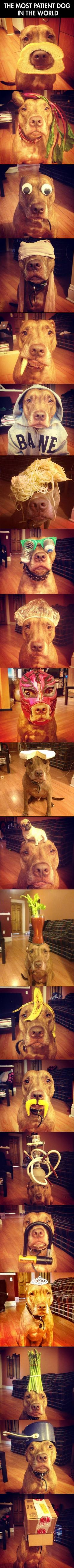 you can put anything on this dog's head…: Patient Dog, Awesome Dog, Dogs, Pitbull, Funny, Pit Bull, Puppy, Animal