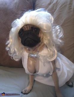 16 Animals Who Despise Their Humans For Dressing Them Up For Halloween 28 - https://www.facebook.com/diplyofficial: Animals, Marilyn Monroe, Dogs, Halloween Costumes, Pet, Funny Stuff, Pugs, Marilyn Pugroe