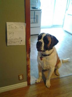 30 Naughty Dogs That Got Publicly Shamed - Dog Shaming: Funny Animals, Dog Shaming, Pet, Growth Charts, Funny Stuff, Humor, Funnies