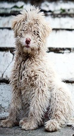 """Barbu Gaulois"" -- The Barbet is a very old French breed behind several known around the world today, including the Portuguese water dog, the Briard, the bichon, the Griffin and the poodle breeds: Doggie, Cutest Dogs, Animals Dogs, Pet, Bad Hair,"
