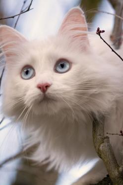 """Cats are absolute individuals, with their own ideas about everything, including the people they own."" --  John Dingman: Cats, Beautiful Cat, Pet, White Cats With Blue Eyes, Chat, Feline, Kitty, Cats Kittens, Friend"