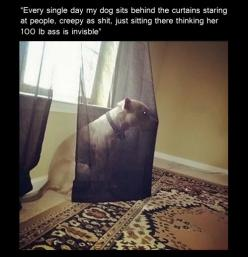 """""""every single day my dog just sits behind the curtains staring at people, creepy as s--t, just sitting there thinking her 100lb a-- is invisible."""": Funny Animals, Giggle, Dogs, Stuff, Creepy Dog, Funnies"""