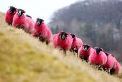 """Freshly dyed sheep run in view of the highway near Bathgate, Scotland. The sheep farmer has been dying his sheep with NONTOXIC dye since 2007 to entertain passing motorists...."": Passing Motorists, Non Toxic Dye, Dyed Sheep, Entertain Passing, Pi"
