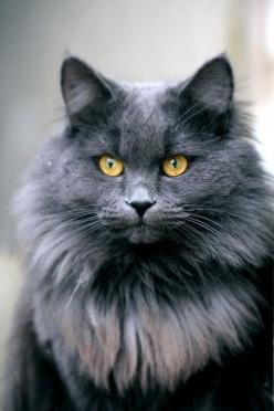 """* * """" If I be a Maine Coon cat, I reserve de right to move to de State of Maine. Bangor precisely because dat's where Stephen King lives...in dat city. Me favorite author, and he DOESN'TS write all 'horror' stories as peeps generally t"""