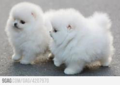 """It's so fluffy I'm gonna dieeee"" How adorable are these puppies?!: Fluffy In, Pomeranian Puppies, Baby Pomeranian, Dog, Fluffy Puppies, Fluffy Poms, Pomeranian Puppy, Animal"