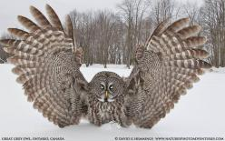 """Over Here"" by wildlife and bird photographer David Hemmings on 500px.  Great Gray Owl with wings stretched wide.: Amazing, Photos, Nature, Majestic, Ontario, Grey Owl, Birds, Animals Owls Creatures, David Hemmings"