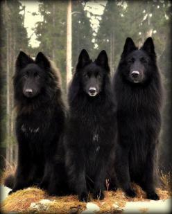 """Shinny noses run in the family!"" #dogs #pets #BelgianShepardDogs Facebook.com/sodoggonefunny: Animals, Belgian Shepherd, Wolf, Belgian Sheepdogs, Pet, Beautiful, Creatures, Black Wolves, Friend"