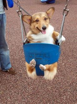 40 things that make corgis happy. every picture is amazing.: Corgis, Animals, Dogs, Pet, Swings, Funny, Puppy, Smile