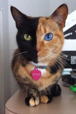 5 Cats with incredible eyes and markings, This one is just amazing :): Cats, Face, Kitty Cat, Animals, Pet, Chimera Cat, Venus