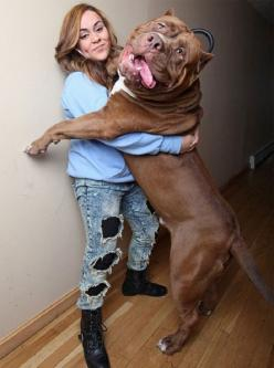 5 Dogs even bigger than their owners: Animals, 175 Pound, Pitbull, Pets, Bigdogs, Pit Bull, Hulk, Big Dogs