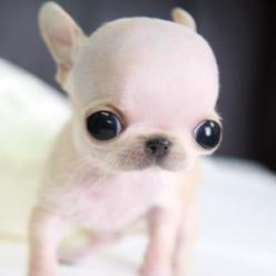 5 Smallest Puppies You have Ever Seen: Animals, Pictures Baby, Pets, Baby Yorkies, Puppys, Dogs ️, Little Dogs