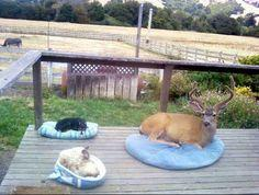 A deer who decided to come for a visit. | 41 Pictures You Need To See Before The Universe Ends THIS KILLS ME AHAHAHA: Cats, Animals, Dogs, Bed, Pets, Funny Animal, Friend, Deer