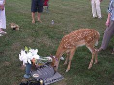 A memorial was being held for a young girl that passed five years ago. During the memorial, a wild doe walked up and did this.