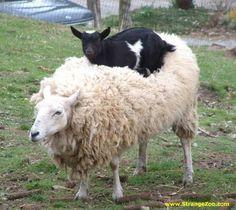 A mother sheep has adopted a Nigerian Dwarf goat kid. Both seem satisfied and happy with this arrangment: Funny Animals, Goats, Critter, Friends, Creature, Pictures, Sheep