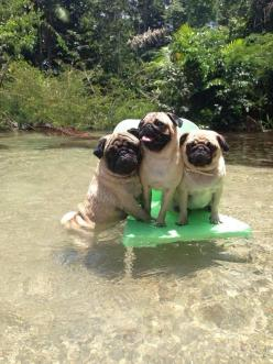 A nice breeze, cool water and together. #dogs #pets #Pugs facebook.com/sodoggonefunny: Pugs ️, 3 Pugs, Animals, Pets Pugs, Pug Life, Dogs Pets, Cute Pugs, Pugs Pugs, Photo