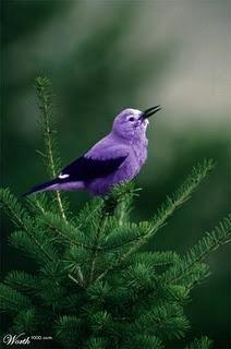 A PURPLE bird...wow....good job Lord: Nature, Purple Bird, Purple Passion, Things Purple, Pretty Birds, Color Purple, Beautiful Birds, Animal
