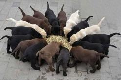 A rainbow of labs For more amazing pictures visit: http://www.shop-pin.com: Labs, Animals, Dogs, Puppys, Lab Puppies, Labrador Puppies, Labrador Retrievers, Friend