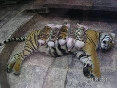 A tiger mother lost her cubs from premature labor. Shortly after she became depressed, her health declined & she was diagnosed with depression. So they wrapped up piglets in tiger cloth & gave them to the tiger. The tiger now loves these pigs &amp