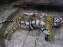 A tiger mother lost her cubs from premature labour. Shortly after she became depressed, her health declined & she was diagnosed with depression. So they wrapped up piglets in tiger cloth & gave them to the tiger. The tiger now loves these pigs &am