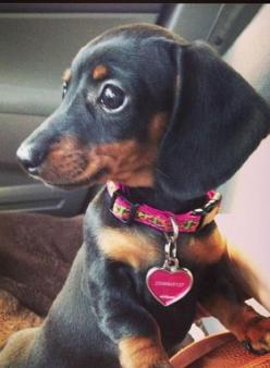 Adorable!: Daschund, Weenie Dogs, Dachshund Puppies, Dachshund Dog Doxie, Weiner, Doxie S, Baby Dachshund, Animal