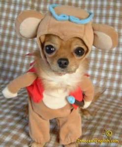 adorable puppies | Happy Halloween. | le blog.: Animals, Dogs, Chihuahuas, Halloween Costumes, Pets, Funny, Puppy