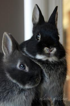 Adorable rabbits. Netherland Dwarfs: Animals, Lapin, Black Rabbit, Bunnies, Dwarf Bunny, Bunny Stuff