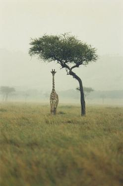 African Safari >> Truly a dream! #JetsetterCurator: Photos, Picture, Animals, Art, Trees, Africa, Photography, Giraffes