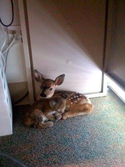 After a forest fire -these two snuggled up together in an office. Bobcat and fawn.: Office, Animals, Sweet, Fawns, Forest Fire, Baby Bobcat, Adorable Animal