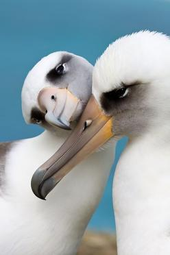 Albatrosses ~ Wide winged and long lived (up to 50 yrs.) albatrosses are rarely seen on land, preferring to stay out on the ocean except to mate and raise their young. They're one of very few species of birds that drink salt water.: Nature, Wild Encou