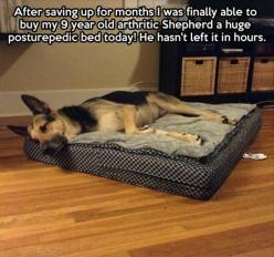 Always lovely to see someone treating their pet with kindness...<3: Huge Posturepedic, Animals, Dogs, Beds, Pet, Arthritic Shepherd, German Shepherds, Posturepedic Bed