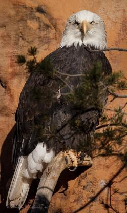 American Bald Eagle: Eagles Raptors, Eagles Eagles, Birds Eagles, Free Eagles, American Eagles, Eagle Feather, Bald Eagles, Eagle Aguilas, Eagles Amazing