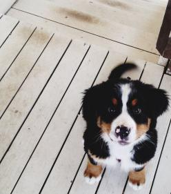 ☯♡♛: Animals, Puppies, Bernese Mountain Dogs, Puppy Love, Pets, Puppys, Box, Friend, Cute Dogs
