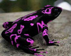 Animals That You Didn't Know Exist - Atelopus Frog: Animals, Clown Frog, Harlequin Toad, Clownfrog, Costa Rican, Frogs, Clowns